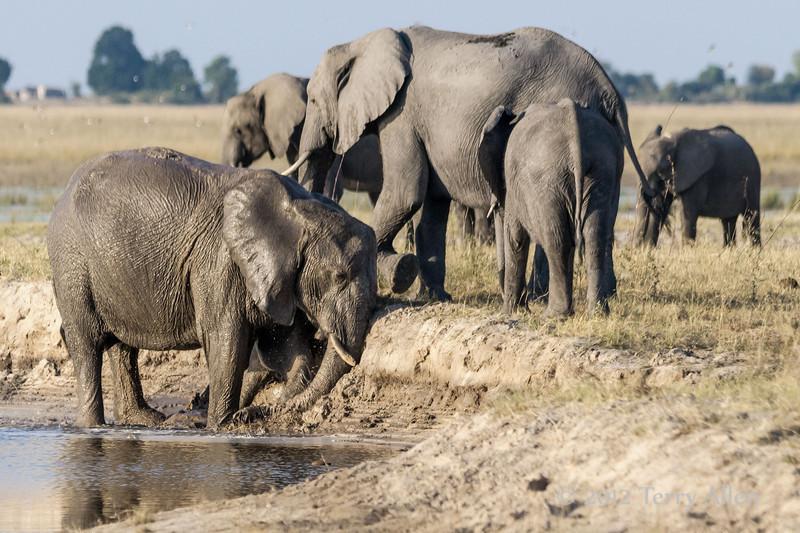Elephants-having-mud-bath-at-Chobe-River-4