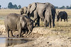 Elephants-having-mud-bath-at-Chobe-River-4