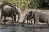 Elephant-family-playing-in-Chobe-River