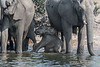 Mother-and-baby-elephants-drinking-from-Chobe-Rive
