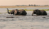 Elephants-and-hippos-in-Chobe-River