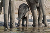 Baby-elephant-drinking-from-river-2