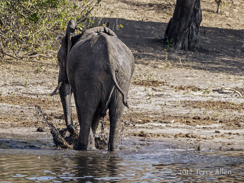 Elephant-digging-mud-hole-2