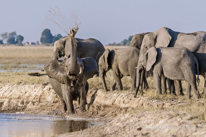 Elephant-slinging-mud-from-banks-of-Chobe-River-2