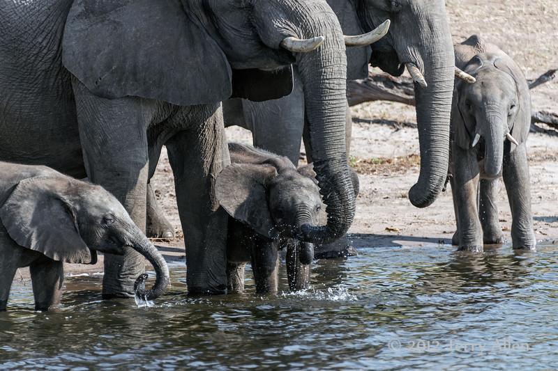 Elephant-family-drinking-from-Chobe-River-4