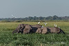 Elephants-and-egrets-in-reed-grasses,-Chobe-River