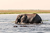 Elephant-and-hippos-in-Chobe-River