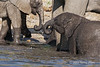 Baby-elephant-playing-in-river-2