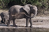 Elephant-having-mud-bath