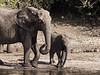 Mother-and-baby-elephant-cooling-off-in-Chobe-River