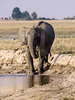 Elephants-having-mud-bath-at-Chobe-River-3
