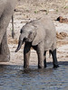 Baby-elephant-drinking-from-river