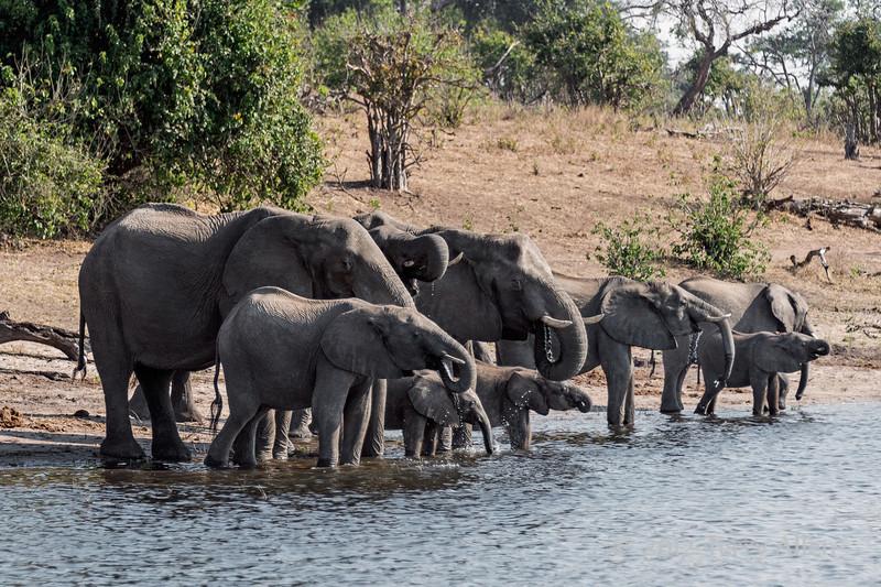 Elephant-family-drinking-from-Chobe-River-3