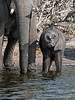 Baby-elephant-drinking-from-Chobe-River