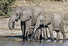 Elephant-family-drinking-from-Chobe-River-2