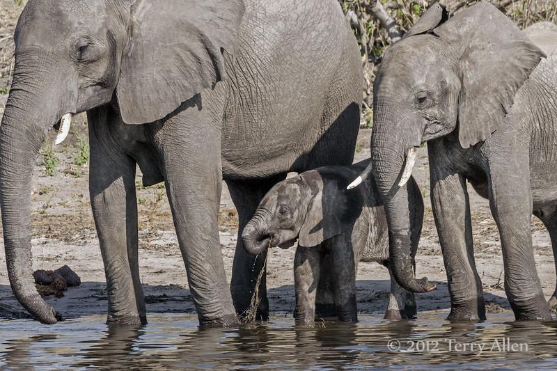 Elephant-family-drinking-from-Chobe-River