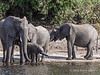 Elephants-drinking-at-Chobe-River