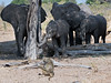 Elephants-moving-in-on-baboon-under-black-monkey-tree