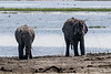 Elephants-having-mud-bath-at-Chobe-River-1