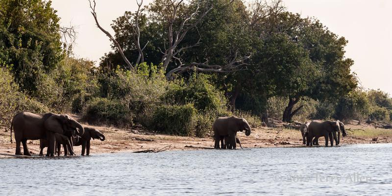 Elephants-drinking-from-Chobe-River,-sunset