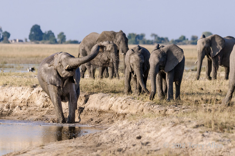 Elephant-slinging-mud-from-banks-of-Chobe-River-1