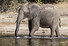 Elephant-in-Chobe-River