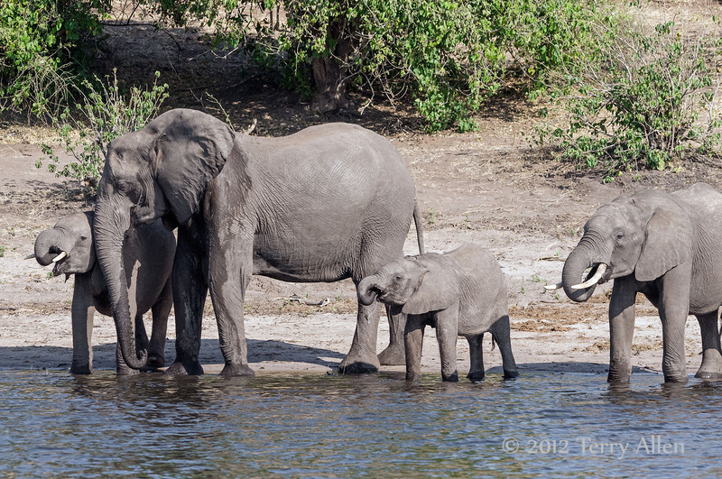 Mother-and-baby-elephants-drinking-from-Chobe-River