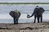 Elephants-having-mud-bath-at-Chobe-River-2