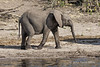 Baby-elephant-by-Chobe-River