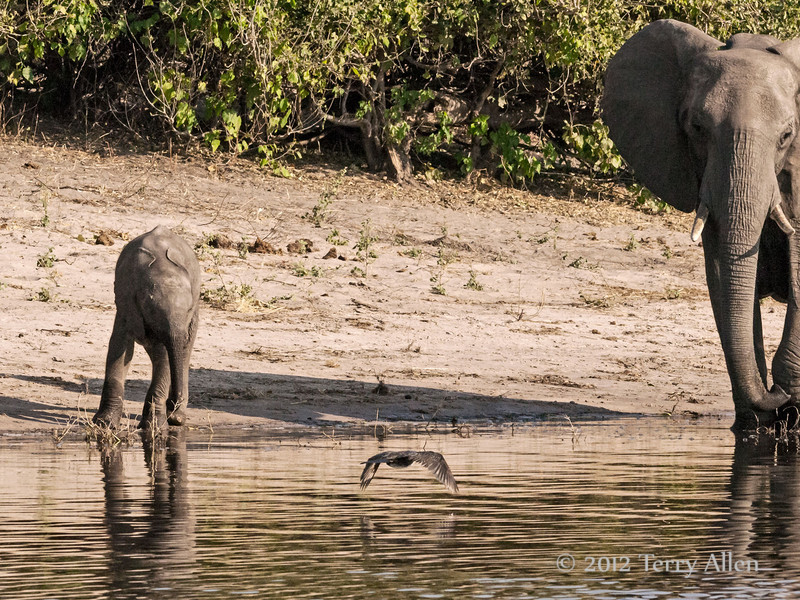 Baby-&-mother-elephant-&-bird,-Chobe-River