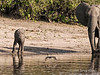 Baby-&-mother-elephant-&-bird,-Chobe-River