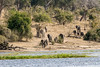 Elephants-coming-down-to-Chobe-River-for-water