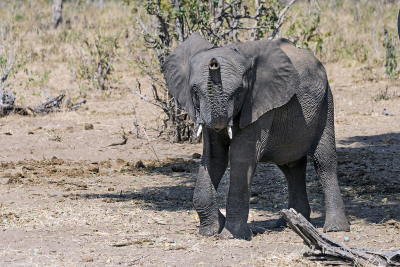 Curious-young-elephant-1