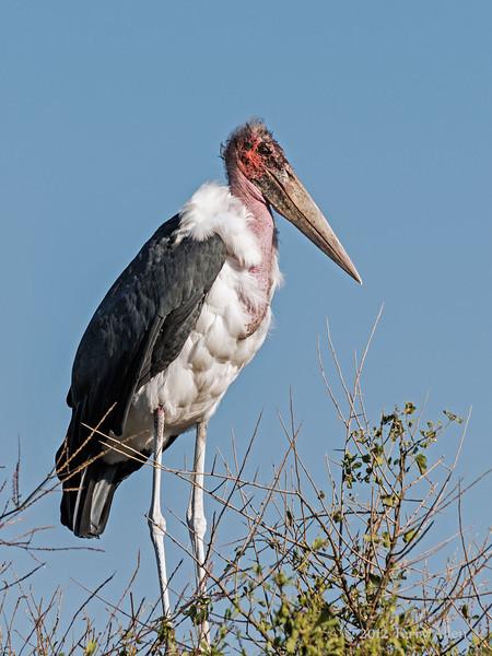 Marabou-stork-3