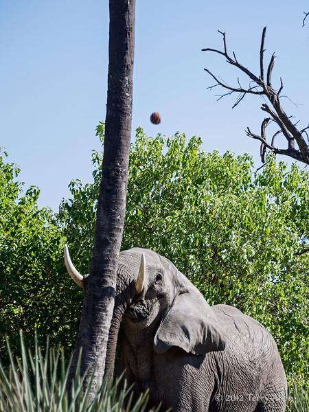 Agressive-elephant-pushing-coconut-tree