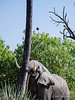 Agressive-elephant-pushing-coconut-tree