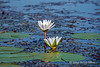 Water-lily-3