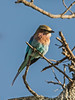 Lilac-breasted-roller-1