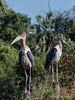 Marabou-storks