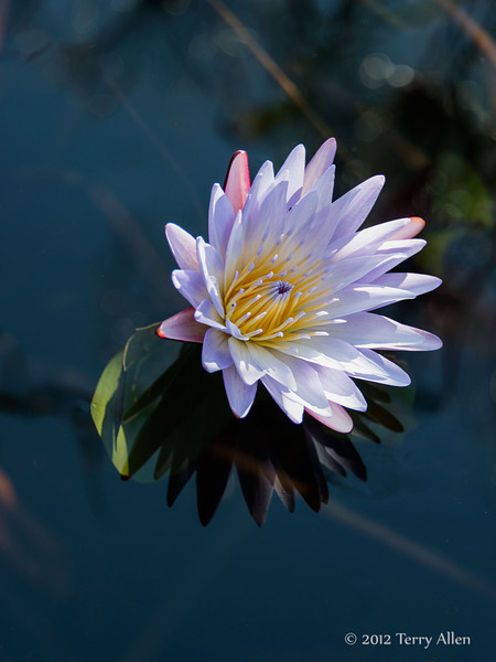 Water-lily-5