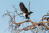 African-fish-eagle-2