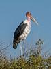 Marabou-stork-4