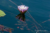 Water-lily-10