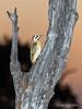 Cardinal-woodpecker