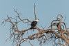African-fish-eagle-1