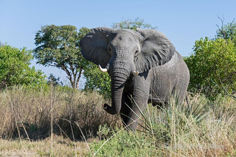 Aggressive-elephant-3