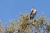 Marabou-stork-1