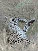 Leopard-stuffed-from-kill