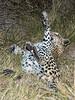 Leopard-stuffed-from-kill-3