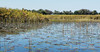 Okavango-water-lillies-&-grasses-3